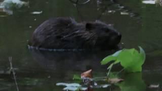 Pokeberry Beaver MVI 1231© Maria de Bruyn