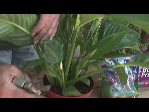 how to grow a peace lilly - Peace Plant Care