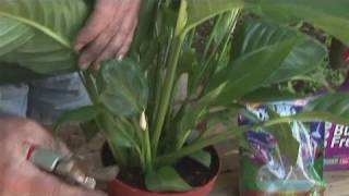 How To Grow A Peace Lilly