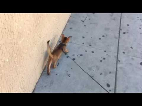 Abyssinian kitten walking on a leash in Los Angeles - Major