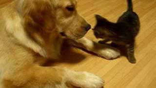 子猫がゴールデンレトリバーにすりすりと甘えてるようです。
