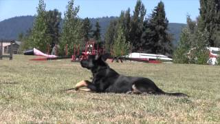 Obedience Training German Shepherd Puppy For Sale