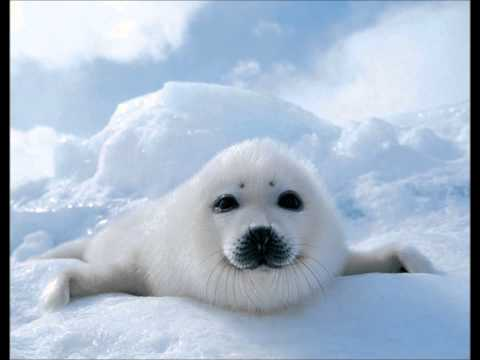 Seal Slaughter 2013
