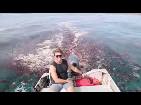 Hundreds Of Thousands Of Red Jellyfish Plague Exmouth Shores In Western Australia