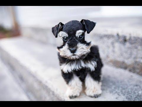 The CUTEST Schnauzer Puppy! Jack in Training