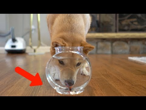 Dog Sees Something Fishy In The Bowl..