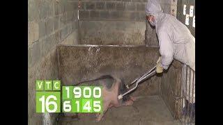 Thiếu kinh phí phòng, chống dịch tả lợn Châu Phi | VTC16
