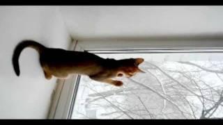 Абиссинские кошки и первый снег, Super-Aby Cattery