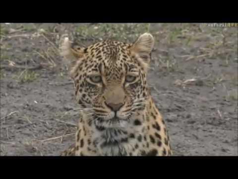 Safari Live : Thandi Female Leopard and...