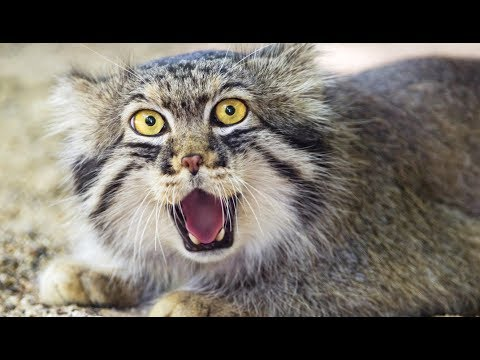L'étrange chat sauvage de Pallas - ZAPPING SAUVAGE