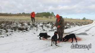 Dzikarze, polowanie na dziki, drivehunt, polowanie