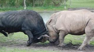 バッファロー対Rhinoの対ブルートフォースサイ バッファロー対Rhinoの対...
