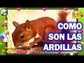 COMO SON LAS ARDILLAS ( las ardillas - mascotas)