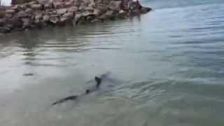 Tiburón en Aguadulce, Roquetas de Mar