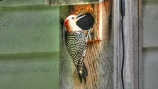 Baby Red Bellied Woodpeckers In Nest Box!