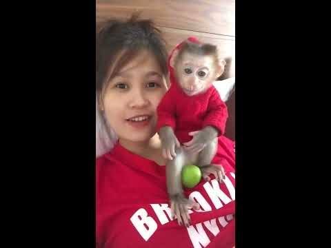 Monkey Baby Nui | Khỉ con đang tập ăn táo | monkey eating Apple