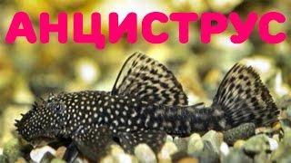 Аквариумная рыбка Анциструс содержание и разведение! [#Аквариумная рыбка Анциструс]