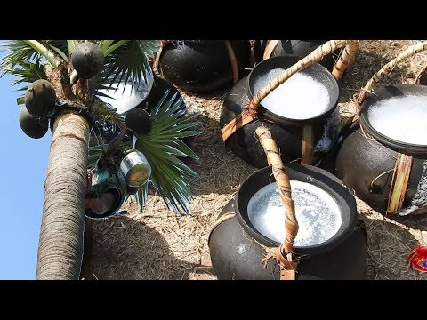 Juice of toddy palm | Palmyra palm juice natural alcohol | Cooking food channel