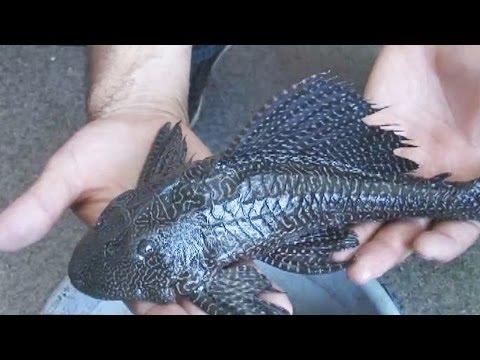 В Амуре нашли экзотическую рыбу. Новости. GuberniaTV