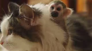 Cat adopts tiny baby squirrel monkey rejected by his mother in Russia