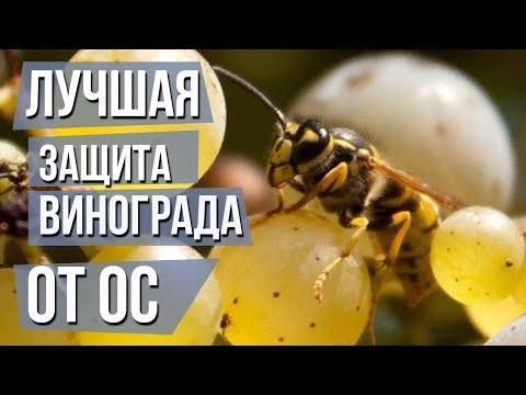 Как бороться с осами на винограде Сеточки для винограда от ос