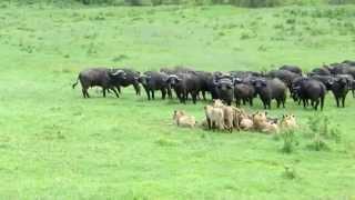 Дикая Африка  Львы против буйволов