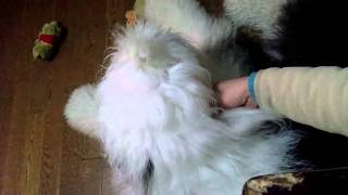 Fluffy sheepdog who wants to be stroked his body. なでなでをおねだ...