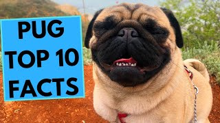 Pug Dog Breed  TOP 10 Interesting Facts