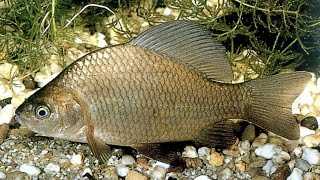 Супер насадка для леща, карася, плотвы и другой белой рыбы.(В этом видео показано как сделать весьма уловистую насадку на карася, леща, плотву и другую мирную рыбу...., 2015-06-30T21:49:36.000Z)
