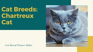 Chartreux Slides  Cat Breeds