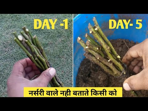 Rose Gardening tips In Hindi