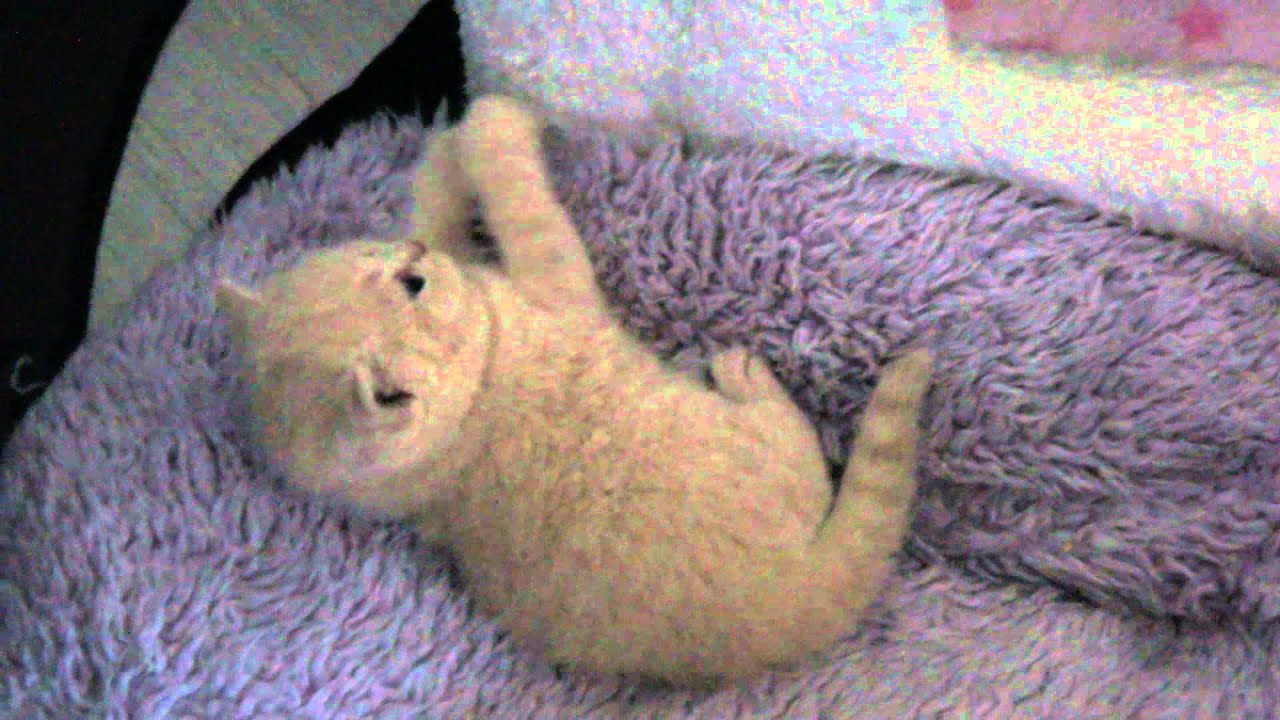 West Jordan Amazing Aisha*PL- kot brytyjski kremowy  British Shorthair Cattery