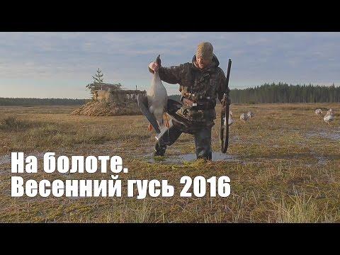 Охота на гусей 2016  На болоте. Карелия.