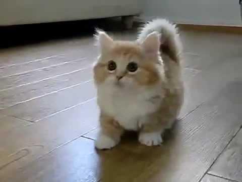 Видео с котами манчкин