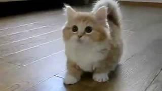Котенок манчкин