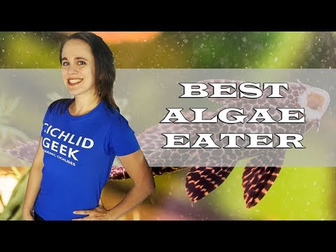The Best Algae Eater For The African Cichlid Aquarium