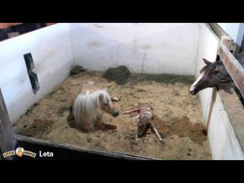 Leta giving birth to a dunskin filly