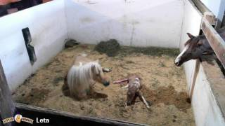 Leta giving birth to a dunskin filly thumbnail