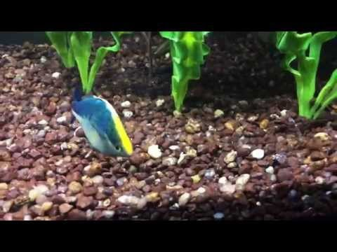 Turquoise Rainbowfish Showing Out