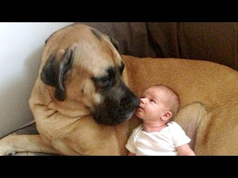 English Mastiff and Baby Compilation