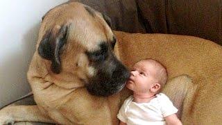 English Mastiff and Baby Compilation