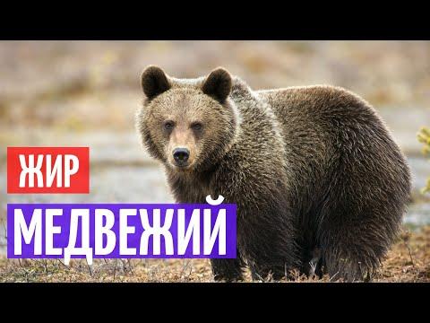 Медвежий жир I Целебные свойства