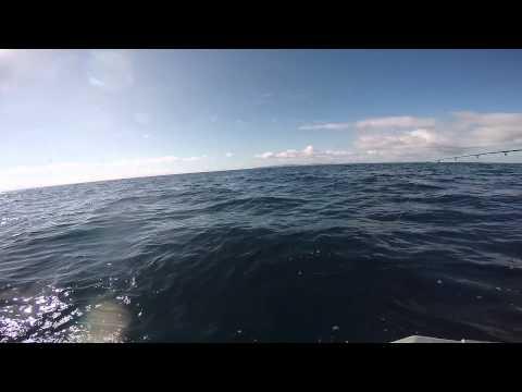 Waitemata harbour 2m blue shark