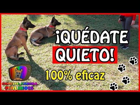 ENSEÑAR A Un PERRO El QUIETO (FÁCIL Y EFECTIVO)   Adiestramiento Canino En Obediencia