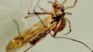 Macro Video : Spider vs Crane Fly
