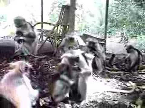 Red Colobus Monkeys 1/2