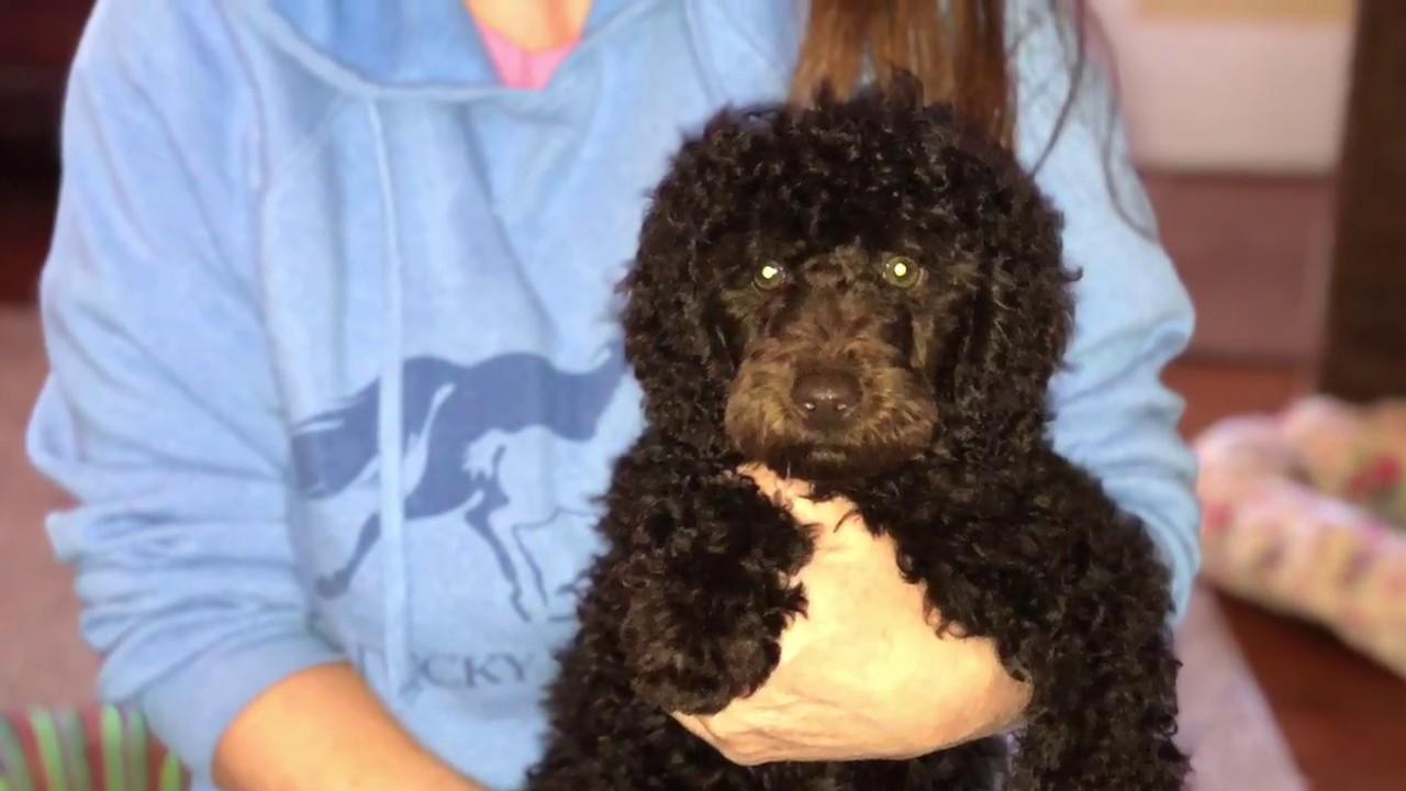 Barnard large miniature poodle puppy