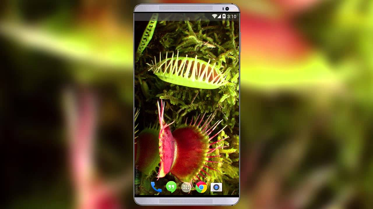 Venus Fly Trap Live Wallpaper - YouTube