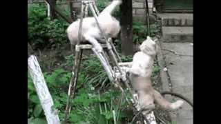 Cамые смешные кошки. Спешите смотреть смешные до слез видео про кошек и котят.