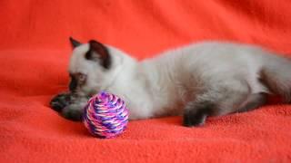 Купить шотландского котенка редкого окраса?  У нас есть такие котята для Вас!